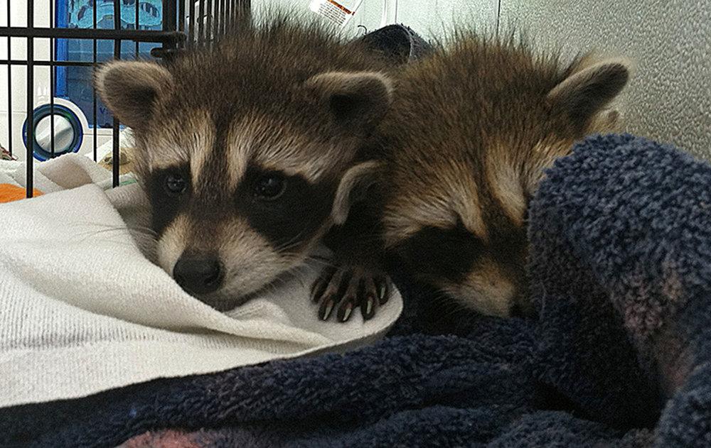 Peanuts baby raccoons