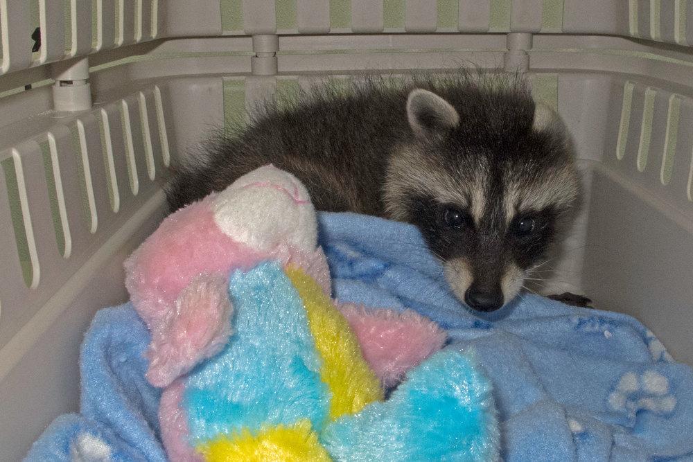 Kismet baby raccoon