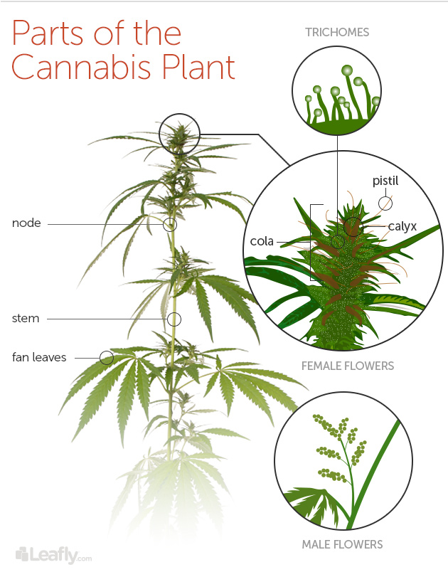 Cannabis Plant Parts