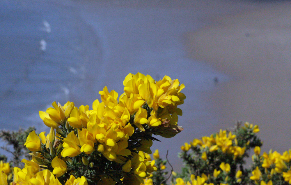 Gorse bushes adorn the clifftops throughout Spring and early Summer