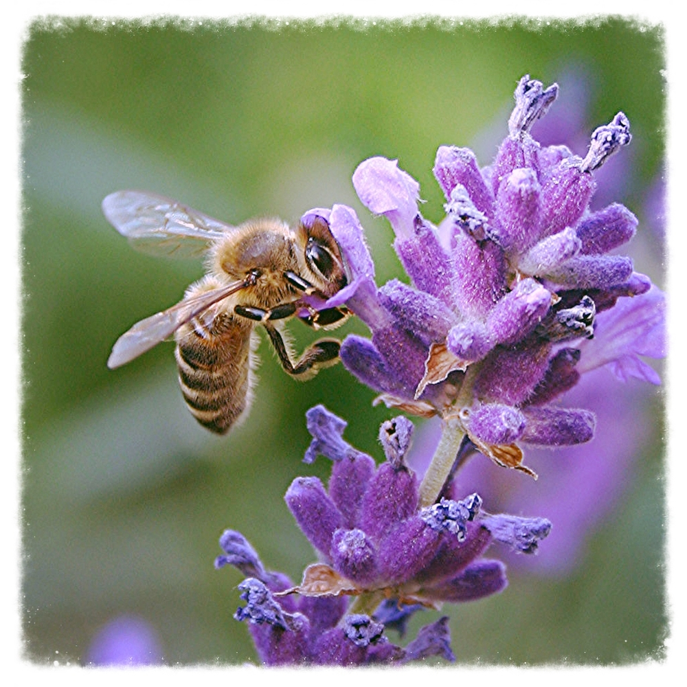 bee-on-lavendar-1400933-s.jpg