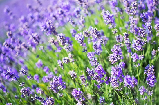 lavender-color-1426750-s.jpg