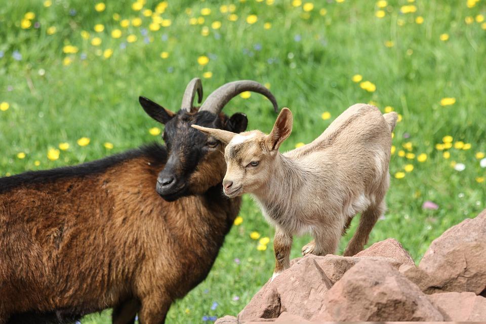 goats-3131176_960_720.jpg