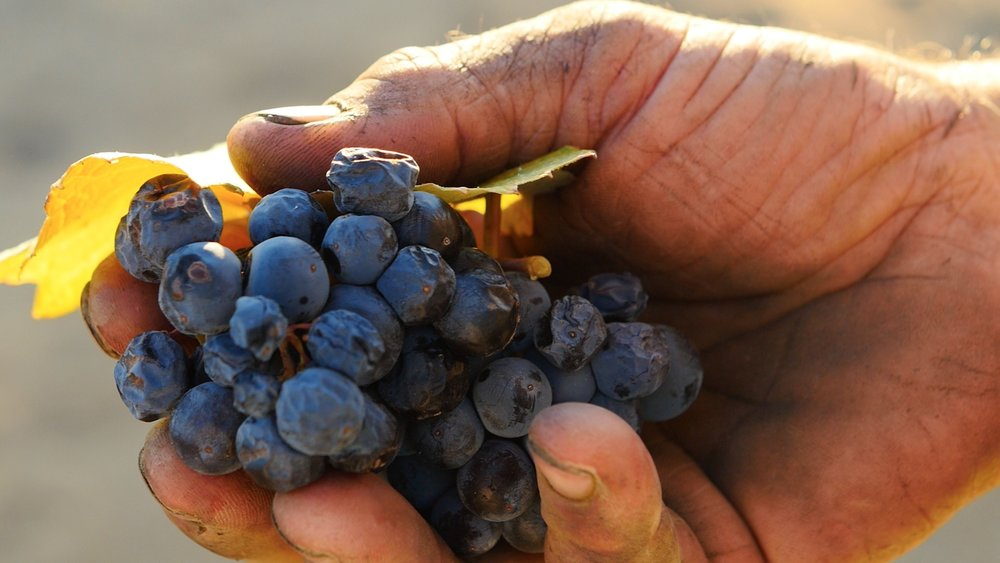 A local field-hand shows a handful of freshly picked grapes from the ancient vines in Contra Costa, California, which date back nearly 150 years.