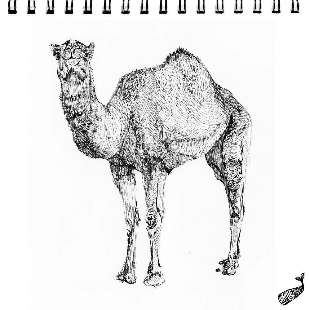 43-CAMEL.png