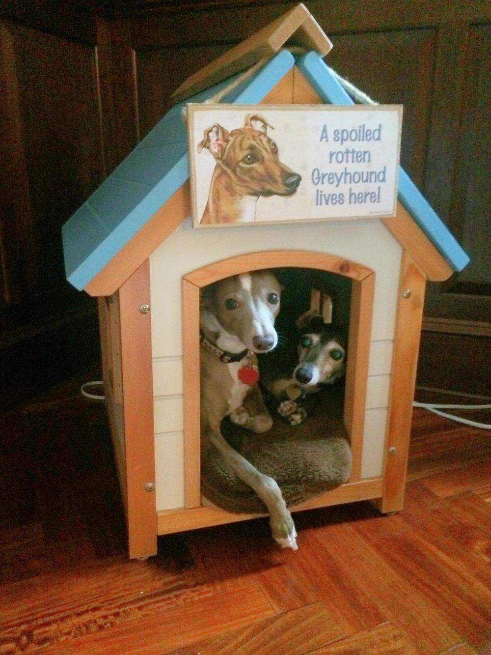 Spoiled Italian Greyhounds