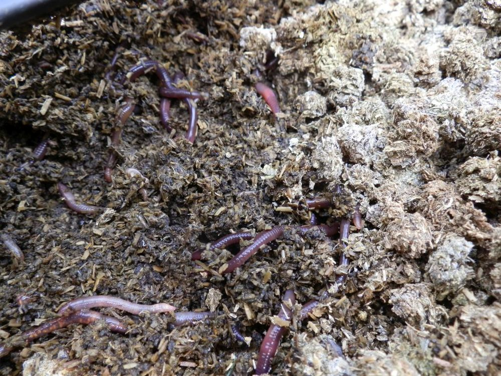 Worms create healthy soil beneath the alfalfa pellets, a Veganic fertilizer made by Good News sister farm