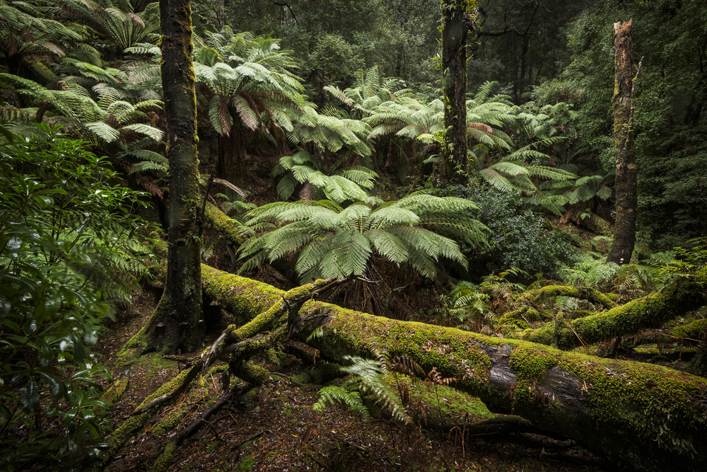 Man Ferns in the Tarkine