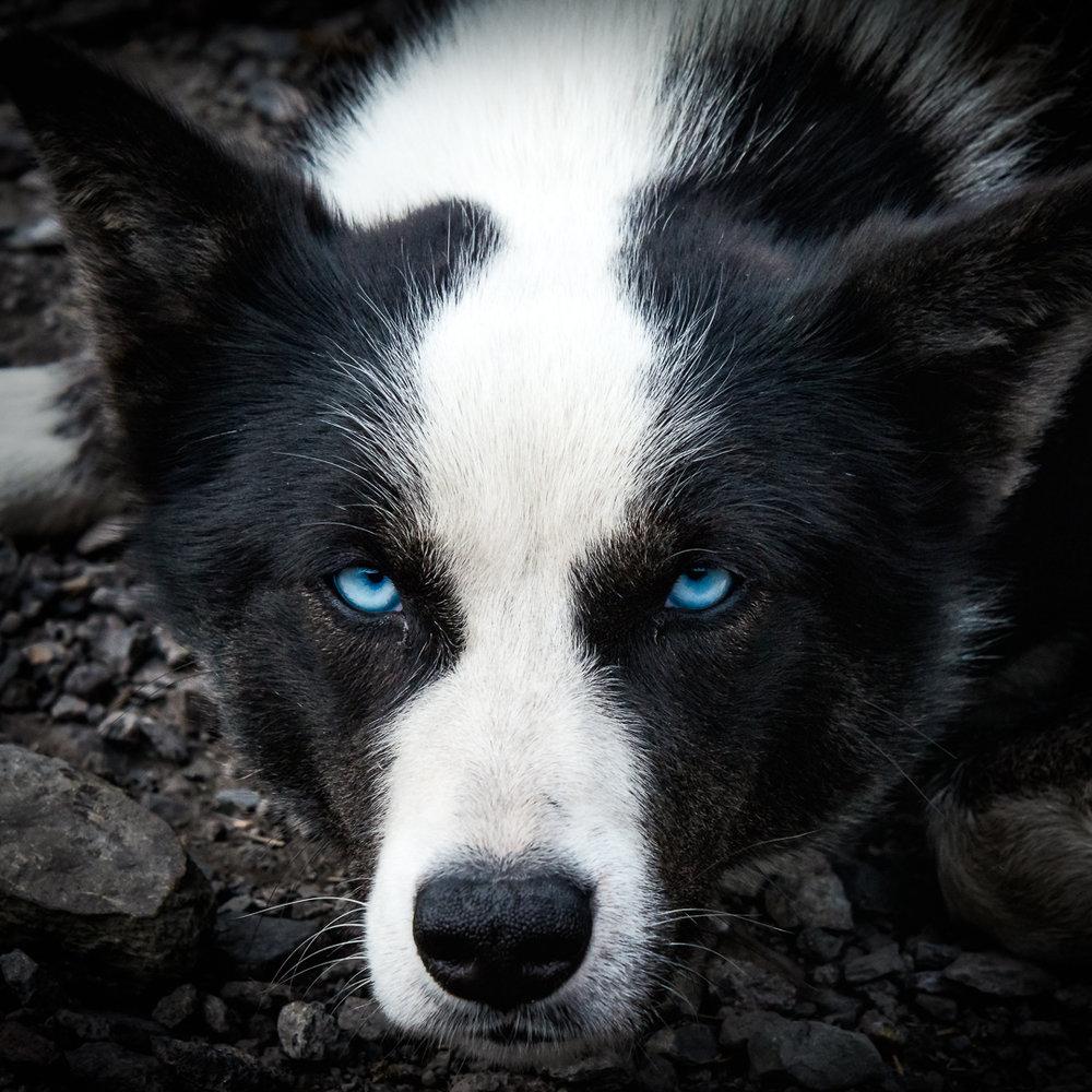 Old Blue Eyes, sled dog at Longyearbyen, Svalbard. (c) Michael Smyth 2016