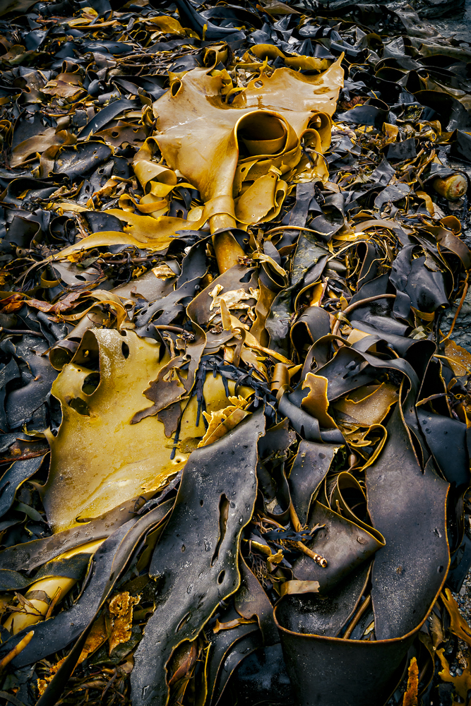 Bull Kelp, South West Tasmania (c) Michael Smyth 2017