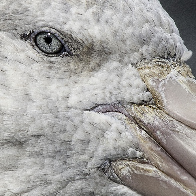 GIANT PETREL_UNSHARP MASK AND HIGH PASS.jpg