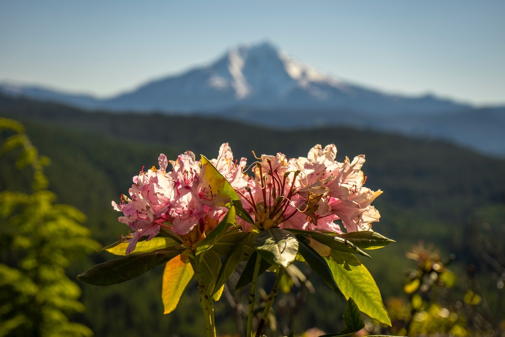 Rhododendron with Mt Jefferson in background, Oregon.