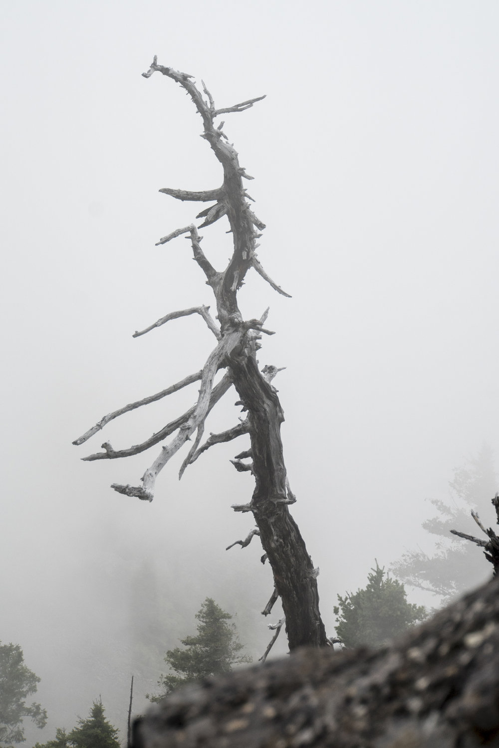 Ghost Tree, Oregon