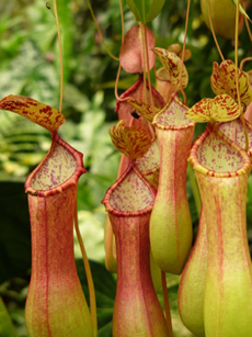 Another one of our favorites is called a Pitcher Plant. These bulbous pitchers hang from the plant and attract prey such as flies and ants. The plant is full and lush, bright green leaves are complimented by the red and orange hues of the pitchers. The plant likes bright sun and needs watered weekly, keeping the pitchers wet when watering.