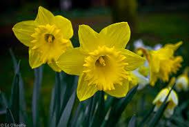 Daffodil- Unrequited love