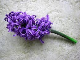 Hyacinth, Purple- I'm sorry, Please forgive me