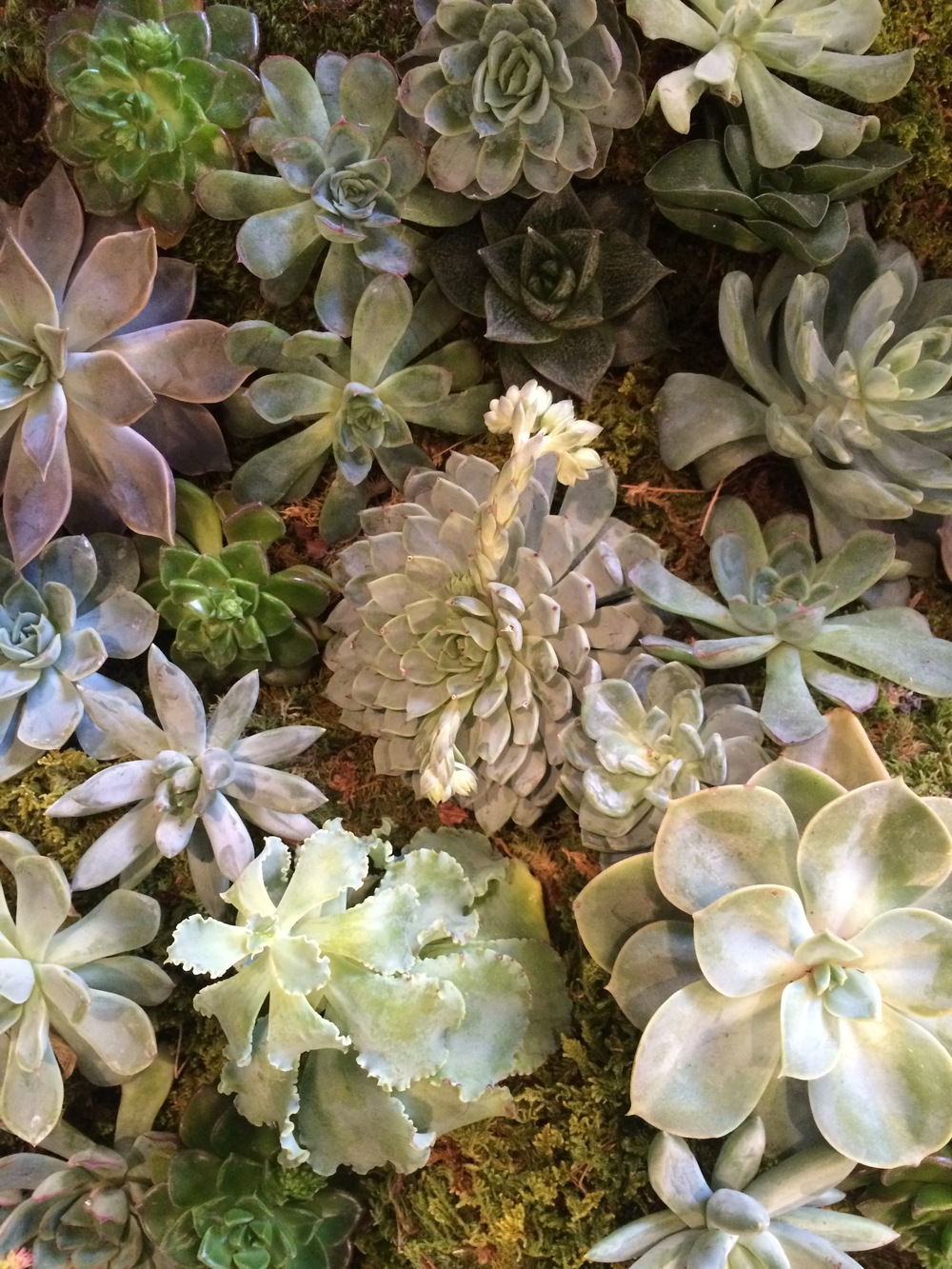 Pale plum and silver echeveria on their moss bed.