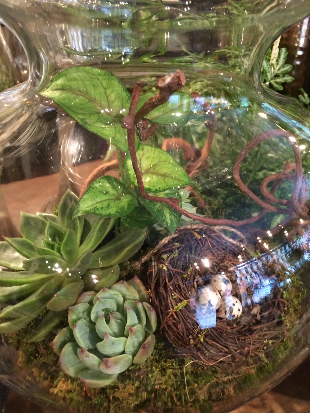 A peak into one of our glass candy jar terrariums reveals a branch of curly kiwi, silvery echeveria, green ferns, soft green moss and even a spring nest