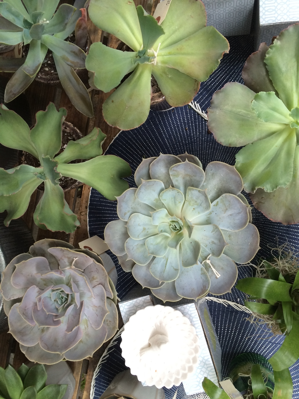 A sample of some of the large potted echeveria that we have arriving weekly.