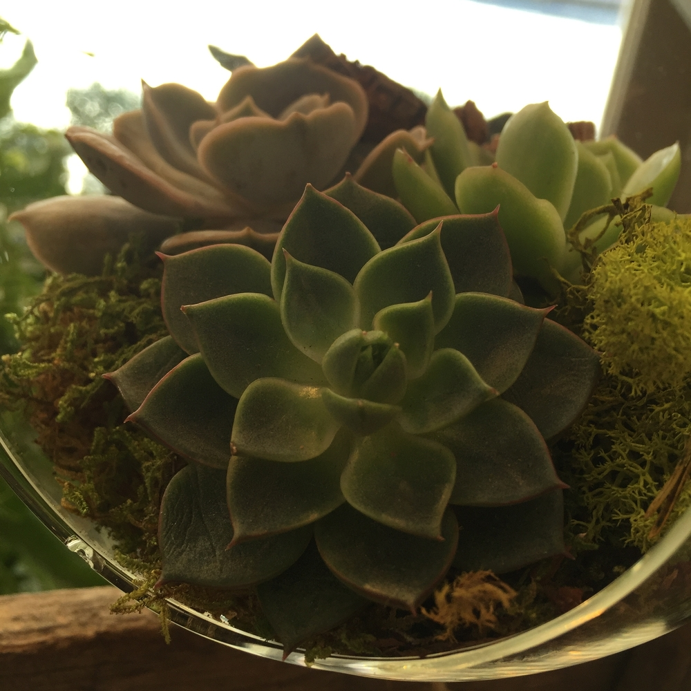 Echeveria are great additions to terrariums because they do not require frequent waterings, nor do they need a lot of space to grow.  We enjoy the look of groupings of these little succulents- but they also look stunning on their own.