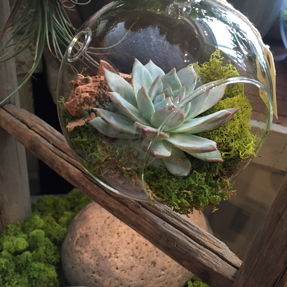 A silvery echeveria sits in a globe terrarium, amidst bright green reindeer moss and cork chips.