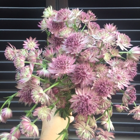 Fall Flowers - Astrantia