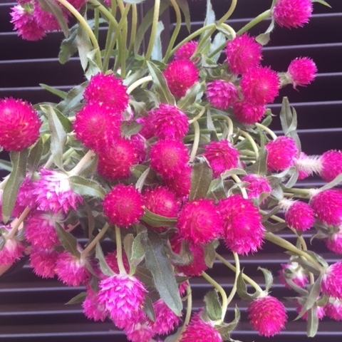 Fall Flowers - Gomphrena