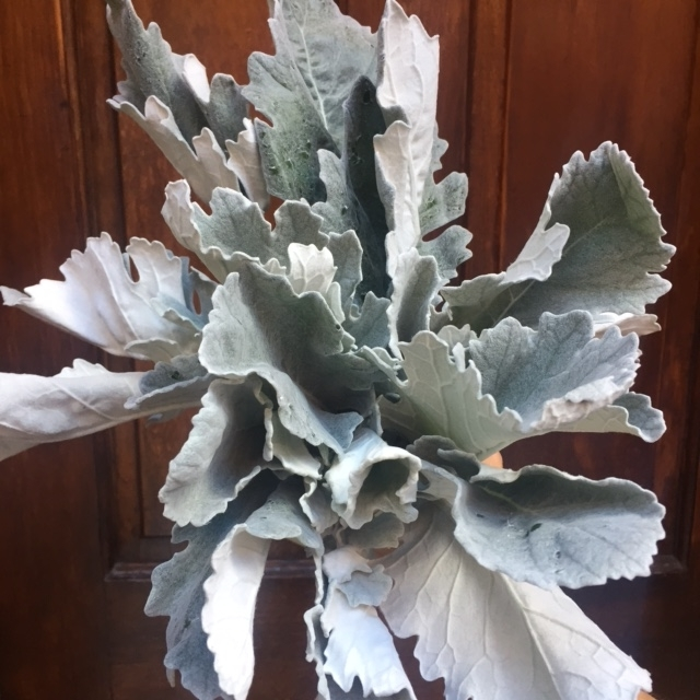 Fall Flowers Boston - Dusty Miller