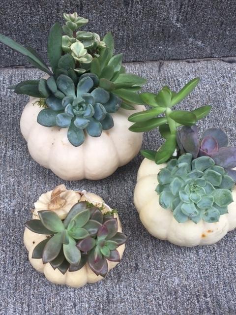 pumpkin succulents.JPG