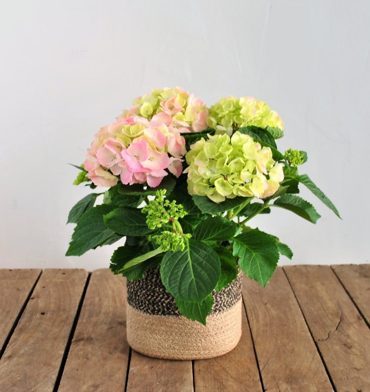 pink hydrangea plant.jpg