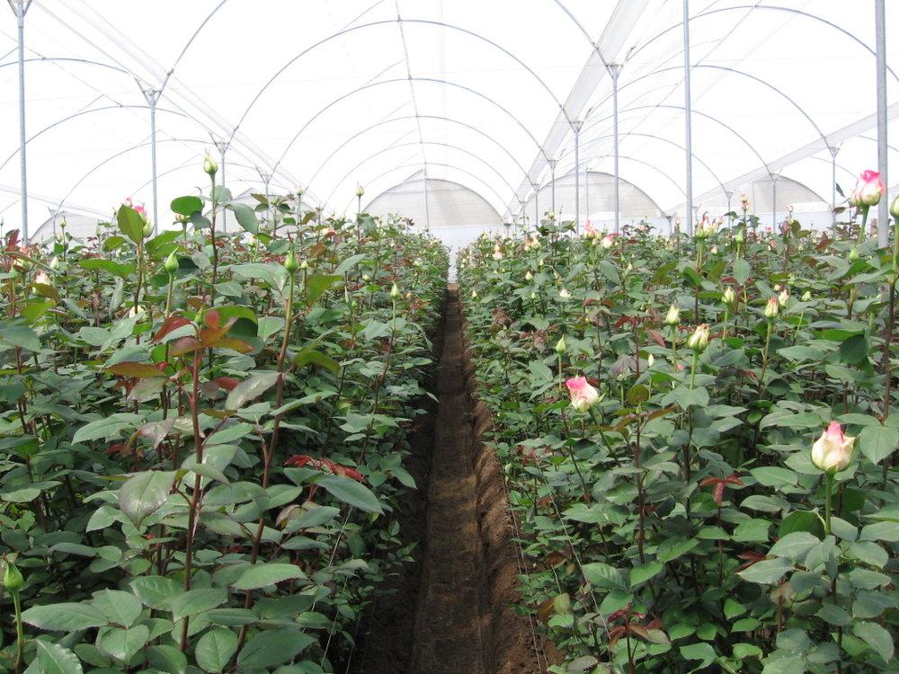 rose farm.jpg