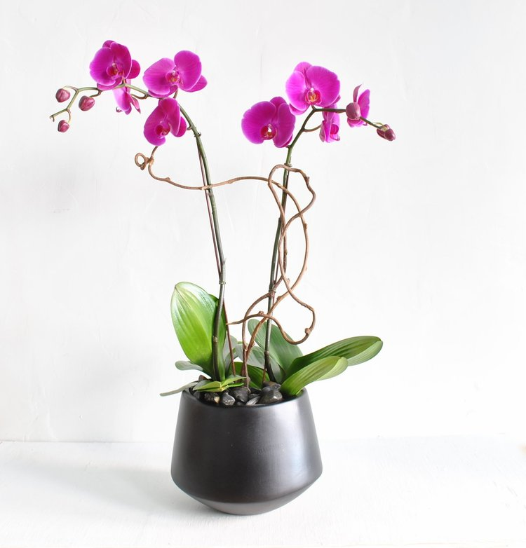 A spectacular fuchsia phalaenopsis orchid plant with distinctive and unique kiwi branch up the stems planted in a tapered black ceramic pot with river rock.