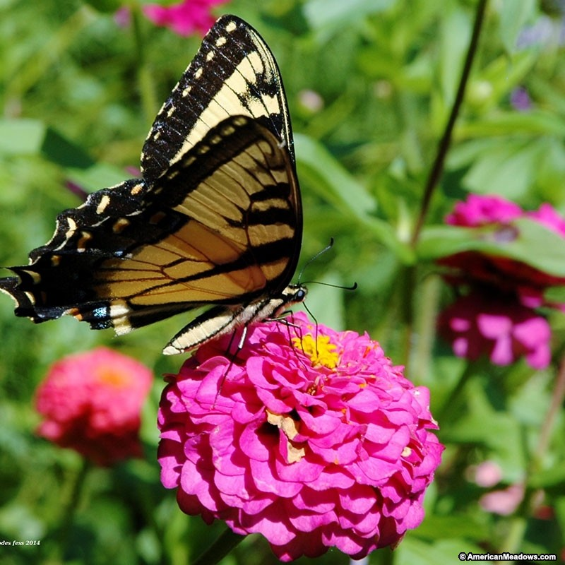 zinnia-illumination-butterfly.jpg