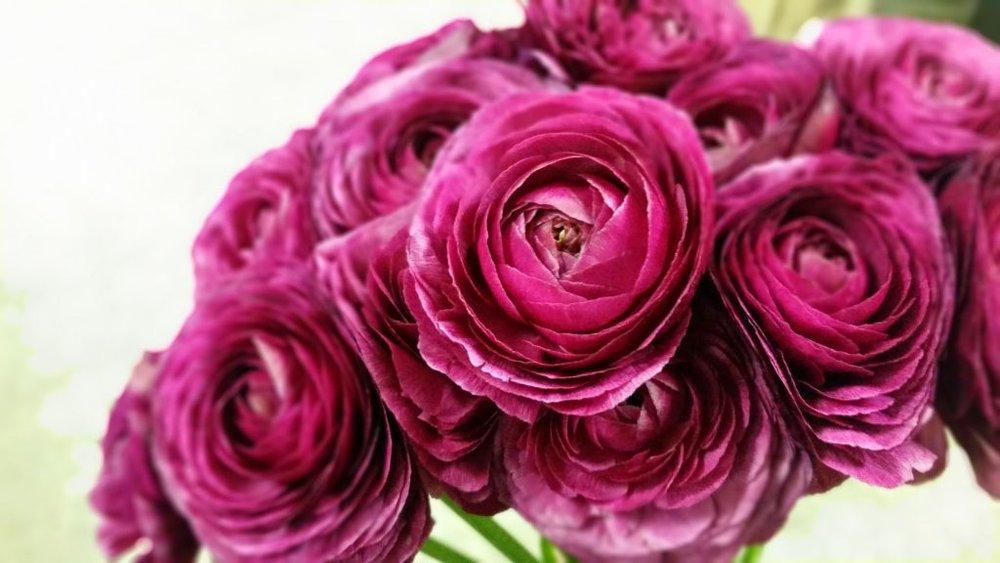 ranun-deep-pink-1024x576.jpg
