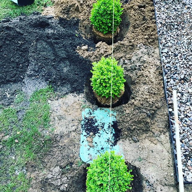 A hedge in the making over in North Falmouth! Boxwood make for a really pretty year round landscape border. #landscapelovers #capecod