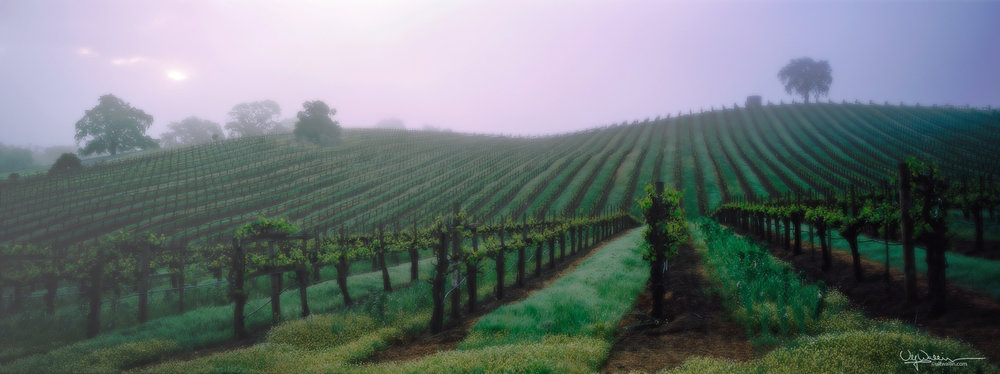 Vineyard - Alexander Valley, Sonoma