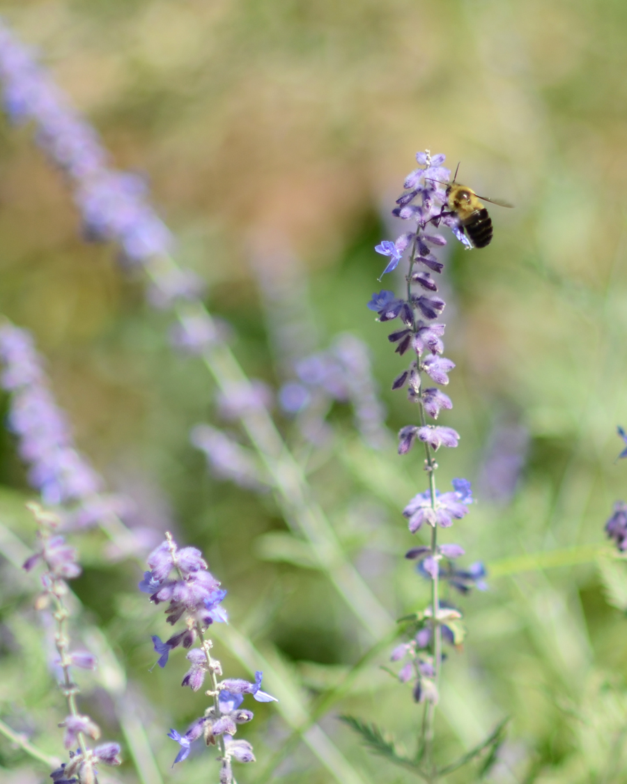 bee on lavender web.jpg