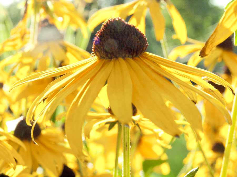web black eyed susan.jpg