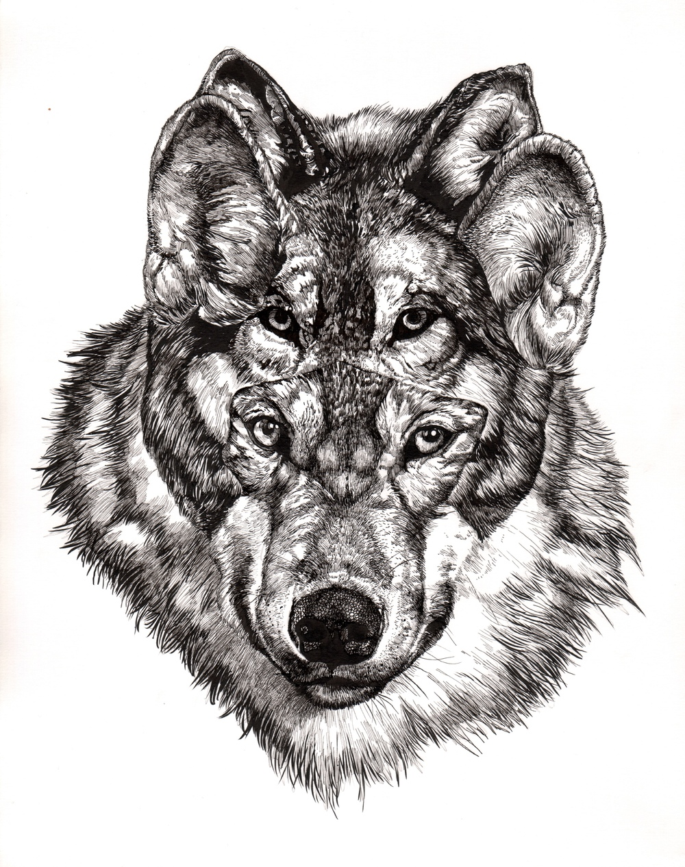 "Grey Wolf   |  14"" x 11""  