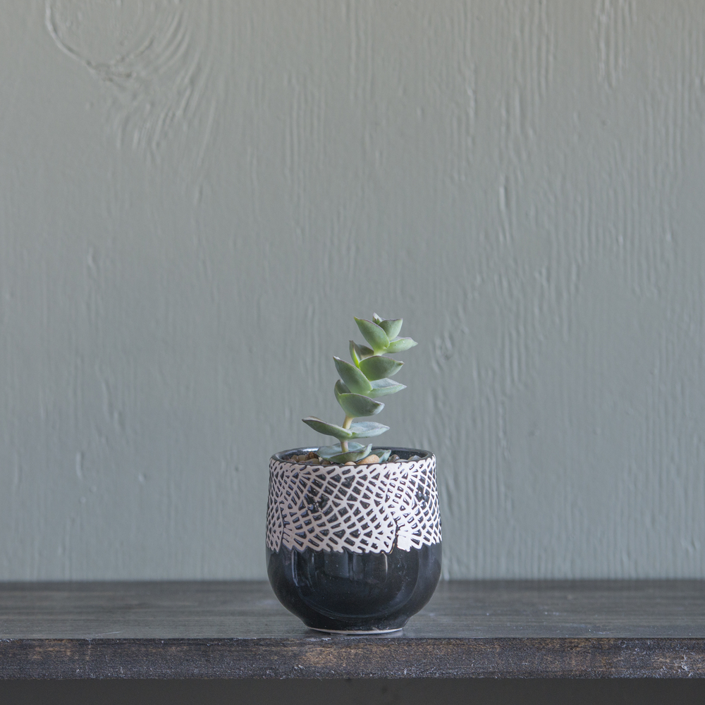 Small - Crassula 2.jpg