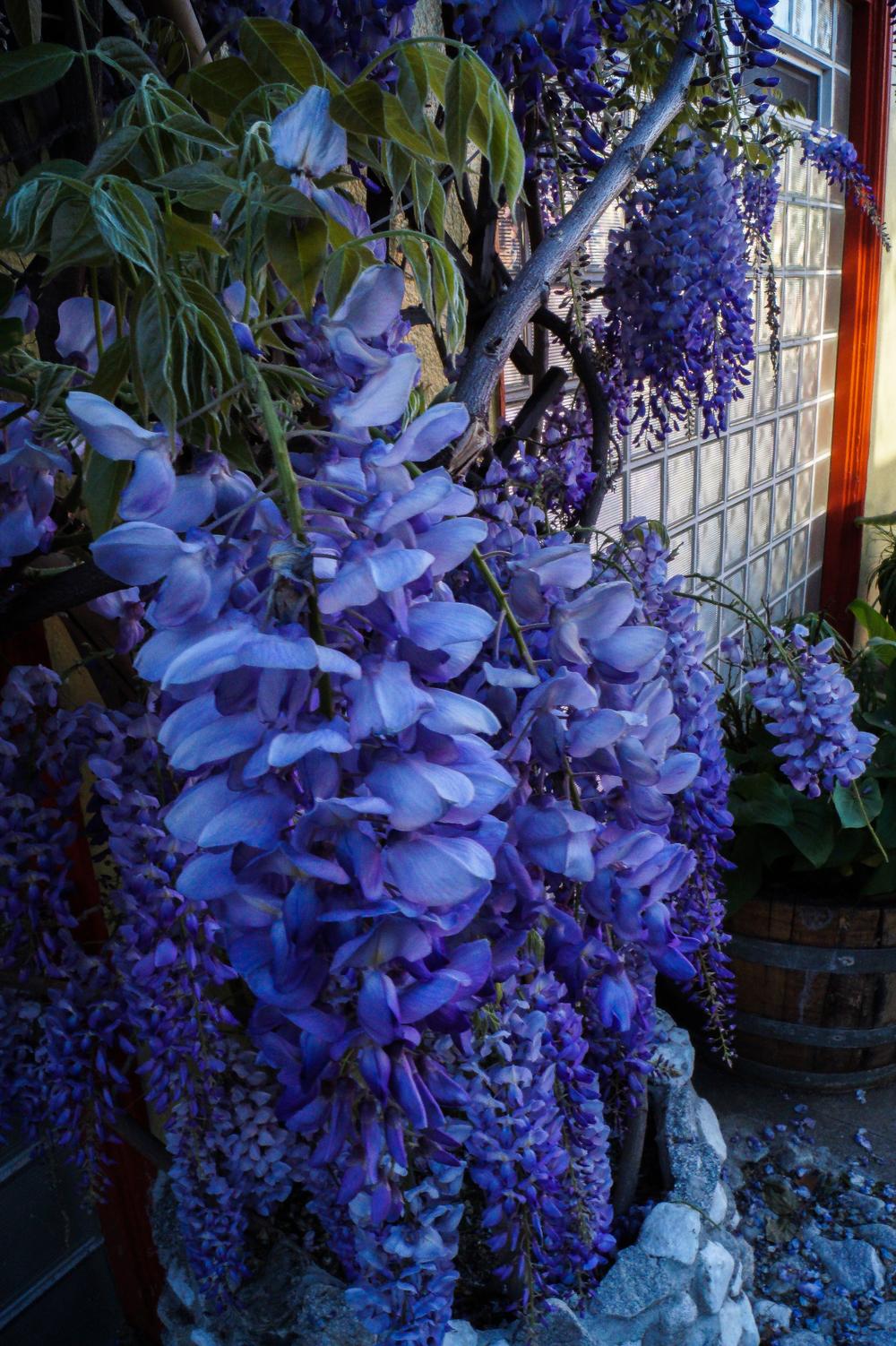 Purple Drapings