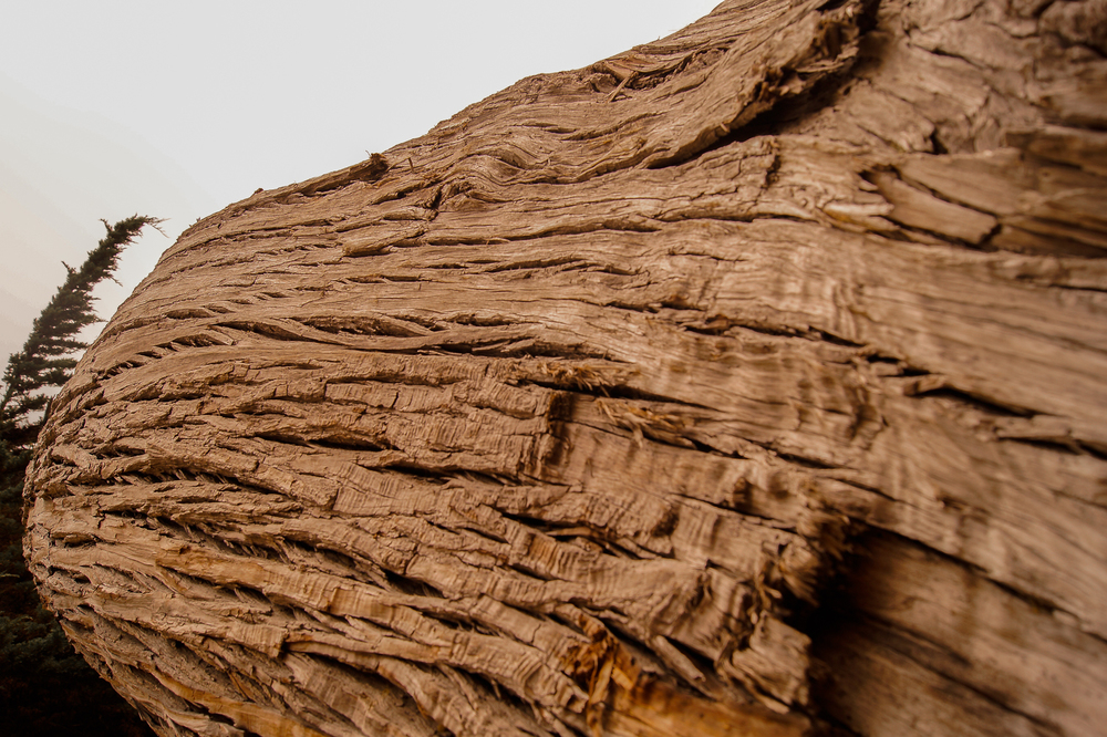 Cypress Bark