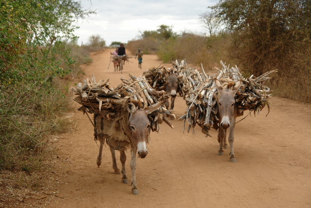 Donkeys carry a haul of firewood which represents the main source of energy in East Africa