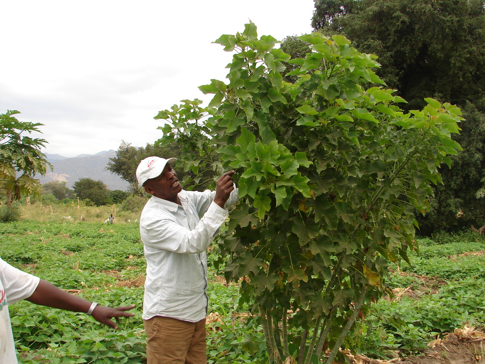 Inspecting a jatropha tree, the seeds from which can be used to manufacture bio-fuel
