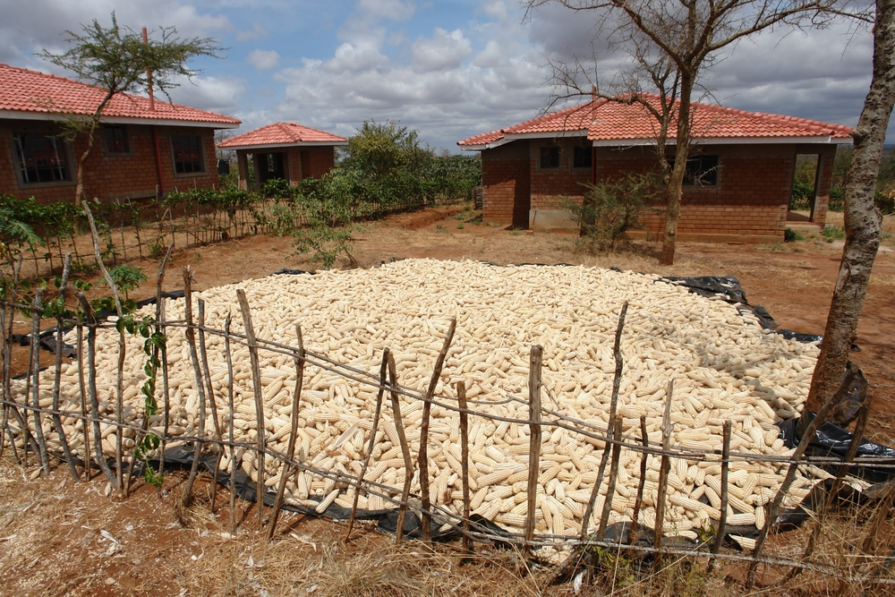 A maize harvest laid out to dry in the sun - Eastern Province, Kenya
