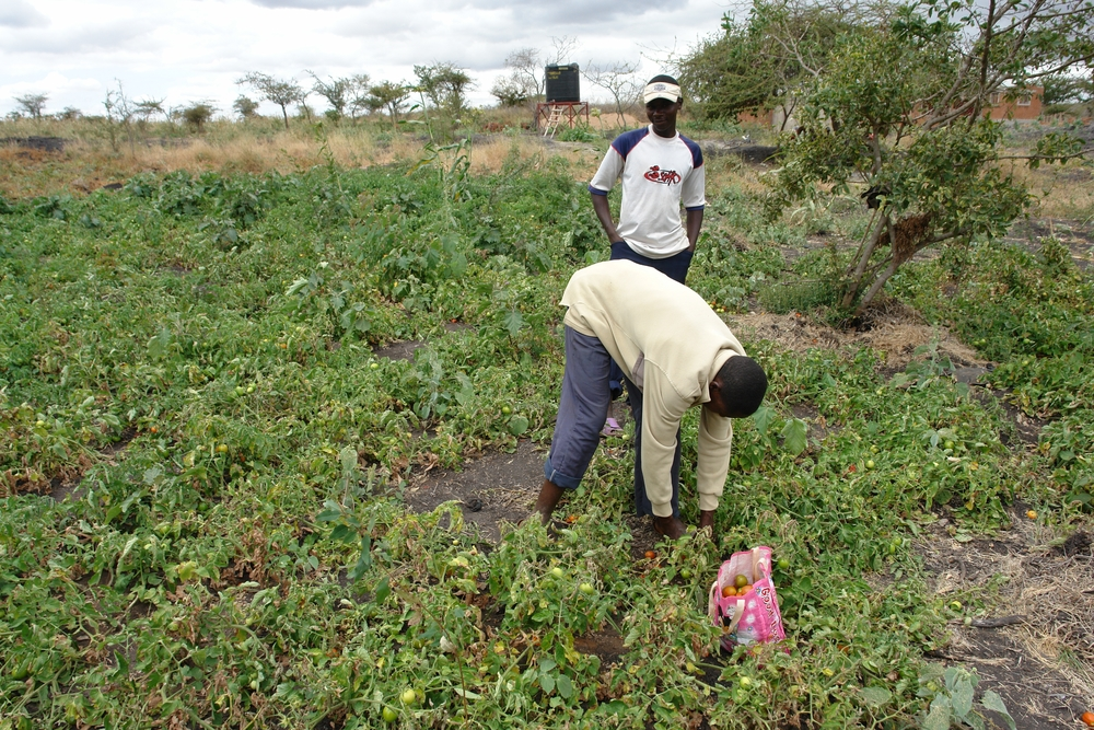 Farmers begin to harvest a crop of tomatoes - Kenya
