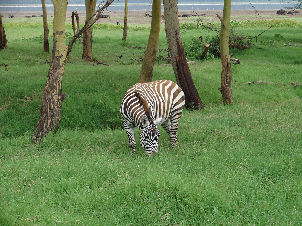 A zebra grazes near the shore of Lake Nakuru - Kenya
