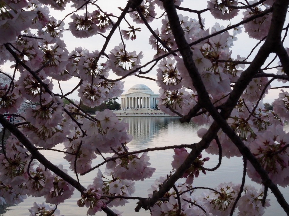 WashingtonDCcherryblossom
