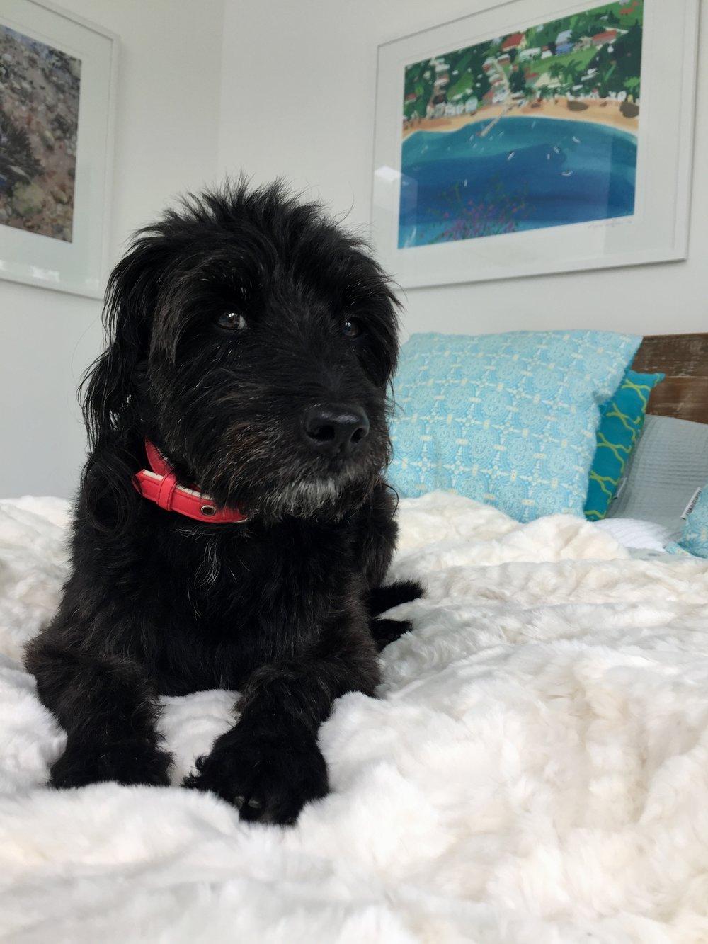 Poodle/Jack Russell. My fur baby Jack.