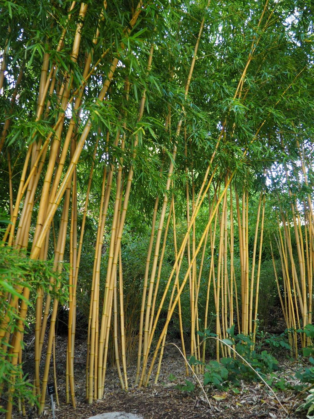 Bamboo garden, Compton Acres